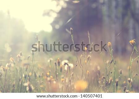 plants dandelions - stock photo