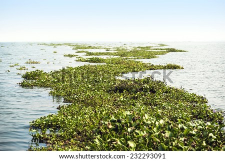 Plants float on the surface of the water. - stock photo