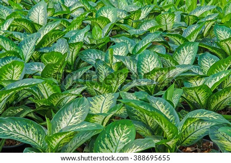 Plants Green Leaf Texture. Dumb Cane Plants - stock photo