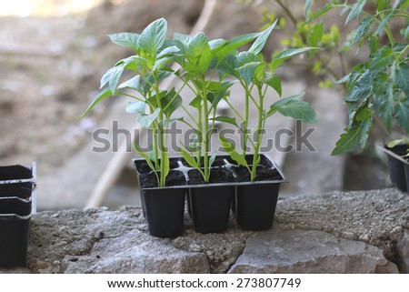 Plants in a pot, soon to be planted in the garden. Natural light, selective focus.  - stock photo