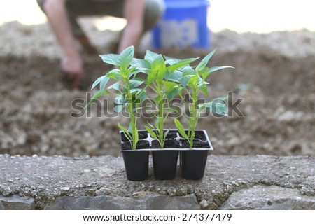 Plants in the pot, ready to be planted. Defocused gardener in the background. Natural light, selective focus.  - stock photo