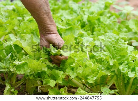 plants Lettuce - stock photo