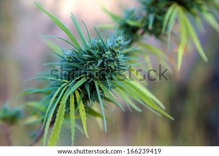 Plants of canabis in the area of Rif - ketama in Morocco. 2006 - stock photo