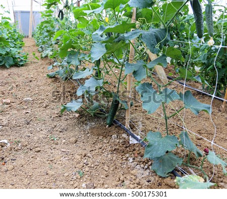 plants of green cucumbers in a large greenhouse with poles and networks