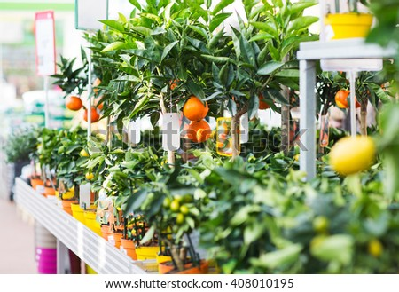 plants, sale, farming and botany concept - close up of citrus seedlings in gardening shop - stock photo