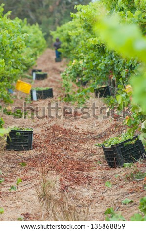 plastic bucket full of of grapes that have just been harvested in a winery of stellenbosch, south africa - stock photo
