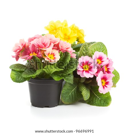 Plastic growing pots with primula flowers in the spring - stock photo