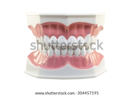 Plastic model of teeth isolated on white background