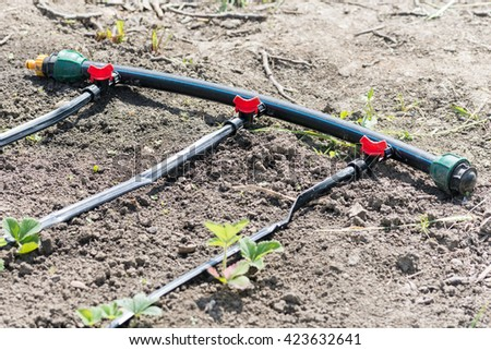 Plastic pipe with taps for irrigating strawberries. - stock photo