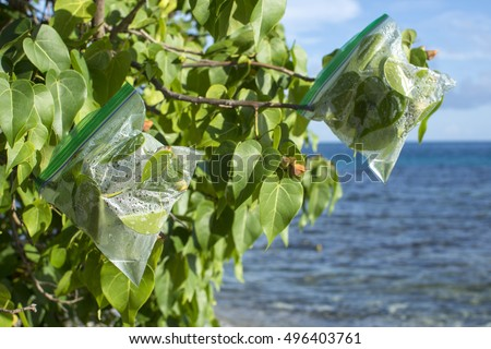 Plastic ziplock evapotranspiration bags hang on ends of portia tree branches on Caribbean island to collect fresh drinking water