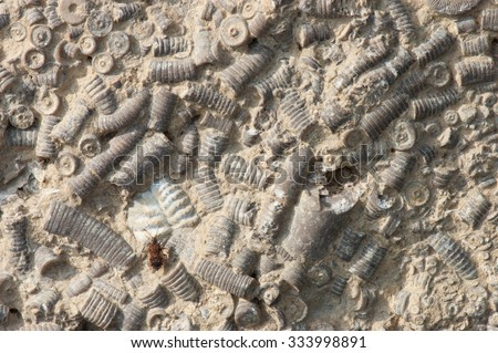 Plateau of marine fossils from the Eifel, Germany. Portions of the sterns of crionides from the middle devonian period. A recent fruit fly sitting on the plateau. - stock photo