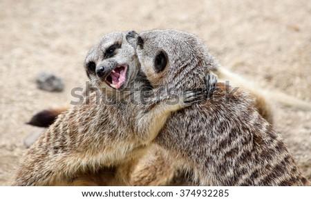 Play Fighting Meerkats - stock photo