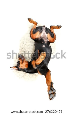 Play with me. Lying doberman pinscher with bended body, stretching his paws on background of white carpet. - stock photo