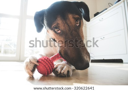 Playful and cute terrier dog chewing a toy at home - stock photo