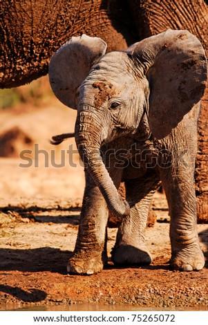 Playful Baby African Elephant (Loxodanta africana) - stock photo