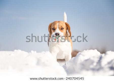 playful beagle dog winter portrait - stock photo