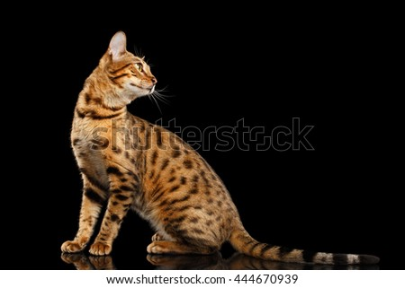 Playful Bengal female Cat with beautiful spots Sitting and Looking back on Isolated Black Background, Side view, Adorable breed - stock photo