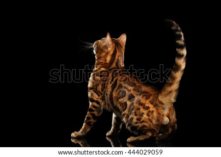 Playful Bengal Male Cat with beautiful spots Standing and Looking up on Isolated Black Background, Back view on his ball, Adorable breed - stock photo