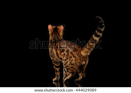 Playful Bengal Male Cat with beautiful spots Standing and Looking up on Isolated Black Background, Back view, Adorable breed - stock photo
