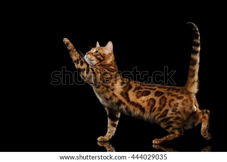 Playful Bengal Male Cat with beautiful spots Standing and Raising up paw on Isolated Black Background, Side view, Gorgerous breed - stock photo