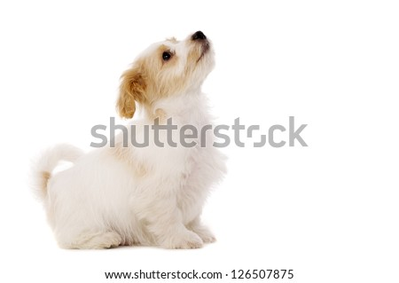 Playful Bichon Frise cross puppy sat looking up isolated on a white background
