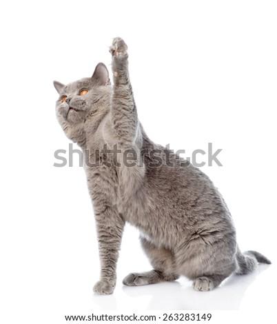 playful big scottish cat. isolated on white background - stock photo