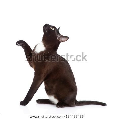 playful black cat sitting in profile. isolated on white background - stock photo