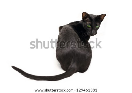 playful black oriental cat on white - stock photo