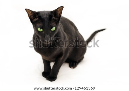 playful black oriental cat on white is watching at you - stock photo