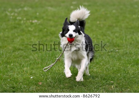 Playful border collie carrying a ball