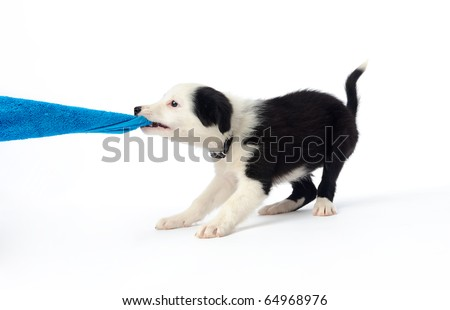 Playful border collie puppy tugging on a towel - stock photo