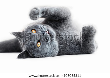 Playful British blue cat - stock photo