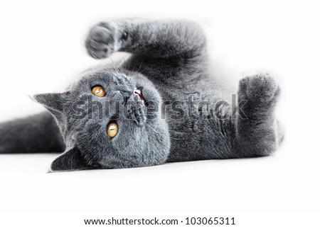 Playful British blue cat - stock photo