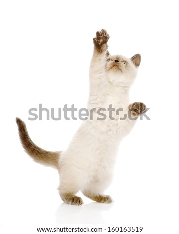 Playful British Shorthair Kitten with raised paw. isolated on white background - stock photo