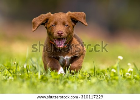 Playful brown puppy enjoying the lovely weather while running through grass in a backyard lawn - stock photo