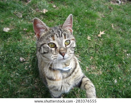 Playful brown tabby cat sitting in the grass in a yard. - stock photo