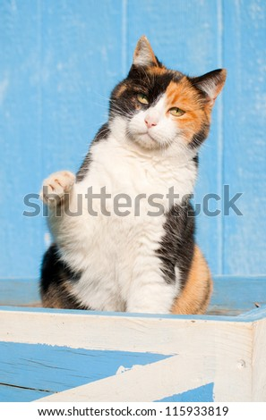 Playful calico cat with her paw in the air, with a blue barn background - stock photo