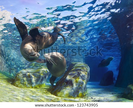 Playful California sea lions (Zalophus californianus) come together for a kiss underwater while another sea lion is swimming through the pathway in the background. - stock photo