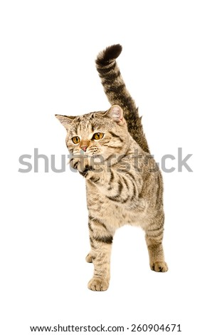 Playful cat breed Scottish Straight standing with a raised paw isolated on white background - stock photo