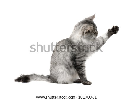 playful cat isolated on white background - stock photo