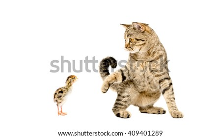 Playful cat Scottish Straight and quail isolated on white background