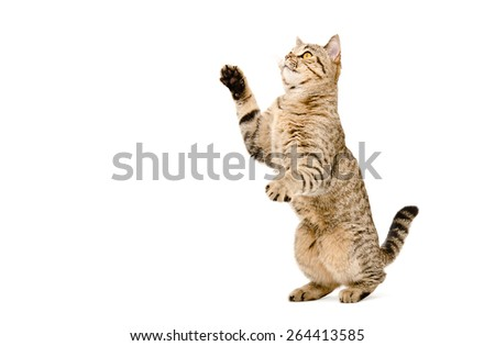 Playful cat Scottish Straight standing on his hind legs isolated on a white background - stock photo