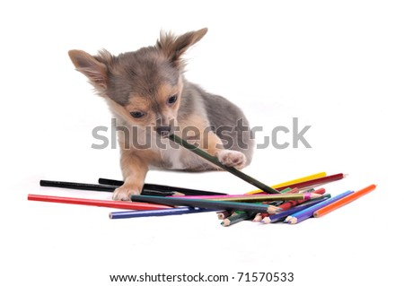 Playful Chihuahua puppy with colorful pencils isolated on white background - stock photo