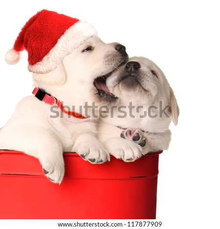 Playful Christmas santa puppies in a red container. - stock photo
