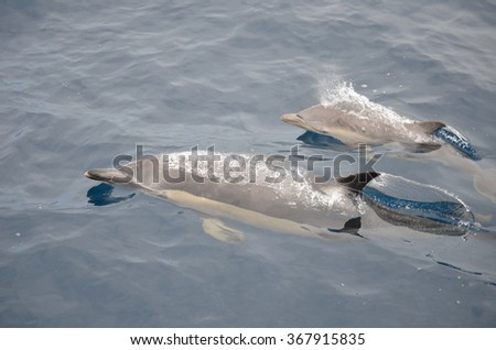 Playful common dolphins in the Hauraki Gulf