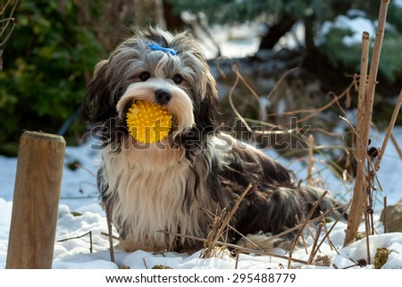Playful cute Havanese dog is sitting in the snow and keep his favorite ball in his mouth - stock photo