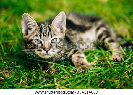 Playful Cute Tabby Gray Cat Kitten Play In Grass Outdoor, Sunny Summer Day