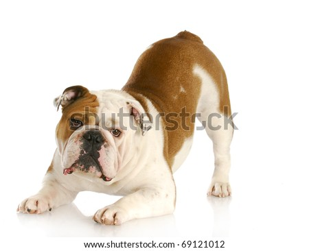playful dog - english bulldog with reflection on white background - stock photo