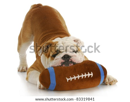 playful dog - english bulldog with stuffed football playing on white background - stock photo