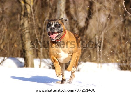 playful dog running happy  in big snow in a sunny winter day. boxer breed portrait in motion. - stock photo